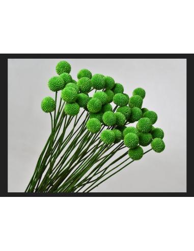 Craspédia Art végétal stabilisé sans...