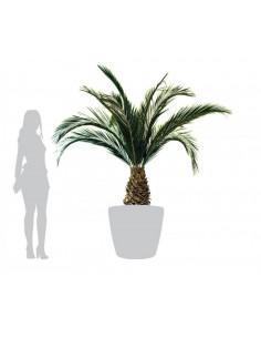 Palmier phoenix ananas...